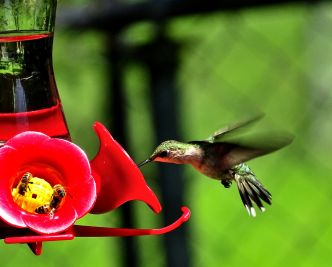 Ruby-throated Hummingbird (3)
