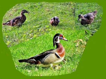 Wood duck collage