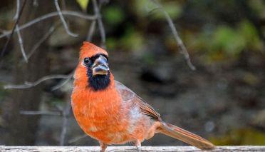 Northern Cardinal - male (2)