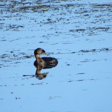 Pied-billed Grebe (1)
