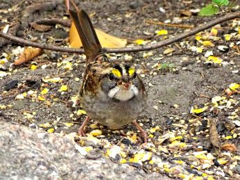 White-throated Sparrow (1)