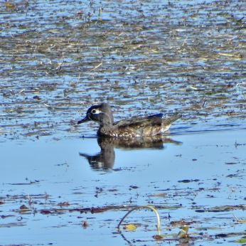 Wood Duck - female