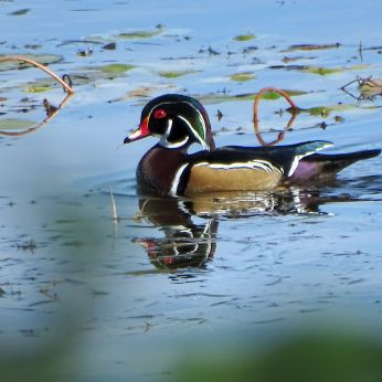 Wood Duck - male