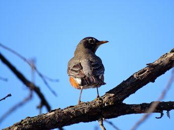 American Robin (2)