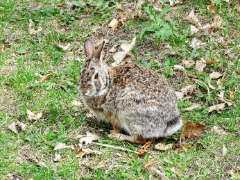 Eastern Cottontail (1)