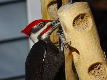 Pileated Woodpecker (2)