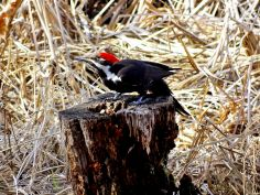Pileated Woodpecker (4)