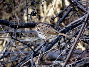 Song Sparrow (1)