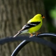 American Goldfinch (3)