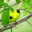 American Goldfinch (6)