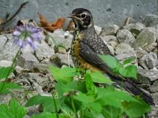 American Robin Fledgling (2)