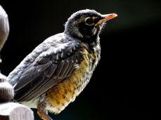 American Robin Fledgling (4)