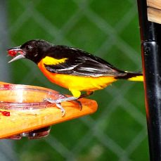 Baltimore Oriole (1)