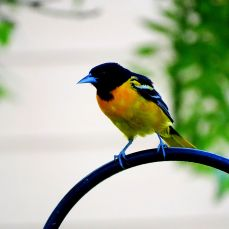 Baltimore Oriole (2)