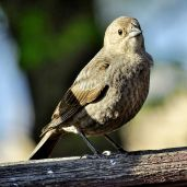Brown-headed Cowbird (3)