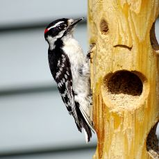 Downy Woodpecker (5)