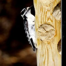 Downy Woodpecker (6)