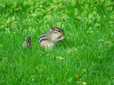 Eastern Chipmunk (4)