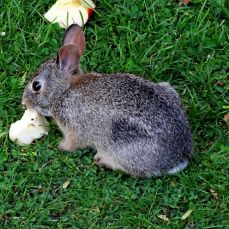 Eastern Cottontail Rabbit (1)