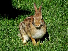 Eastern Cottontail Rabbit (10)