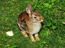 Eastern Cottontail Rabbit (11)