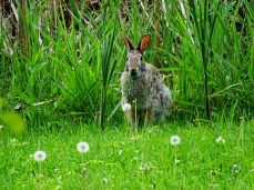 Eastern Cottontail Rabbit (15)