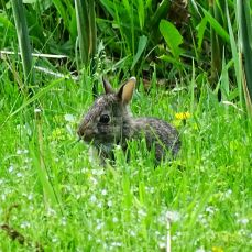 Eastern Cottontail Rabbit (16)