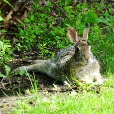 Eastern Cottontail Rabbit (17)