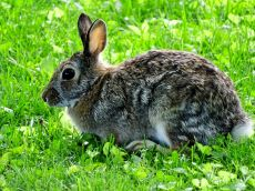 Eastern Cottontail Rabbit (2)