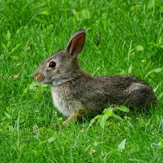 Eastern Cottontail Rabbit (5)