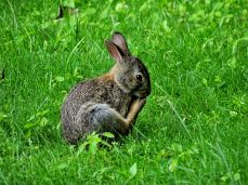 Eastern Cottontail Rabbit (6)