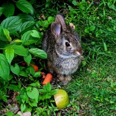 Eastern Cottontail Rabbit (8)