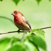 House Finch (2)