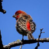 House Finch (3)