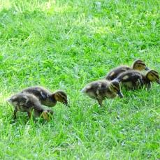Mallard babies