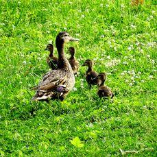 Mallard with babies (1)