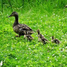 Mallard with babies (2)