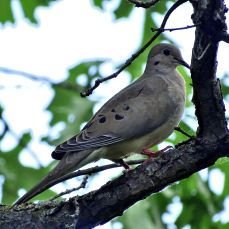 Mourning Dove (1)