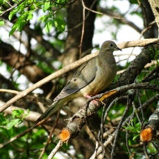 Mourning Dove (3)