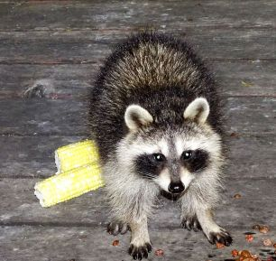 Raccoon (1)