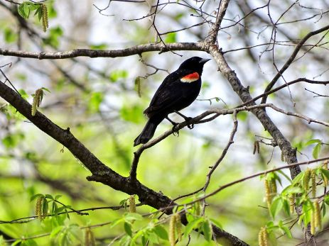 Red-winged Blackbird (11)