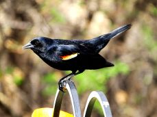Red-winged Blackbird (9)