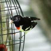 Rose-breasted Grosbeak (1)
