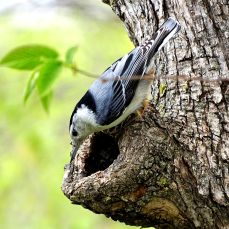 White-breasted Nuthatch (1)