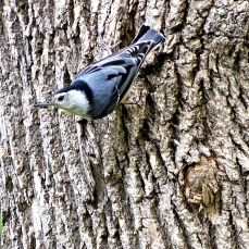 White-breasted Nuthatch (2)