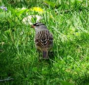 White-crowned Sparrow (2)