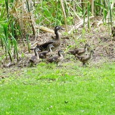 Wood Ducks (1)