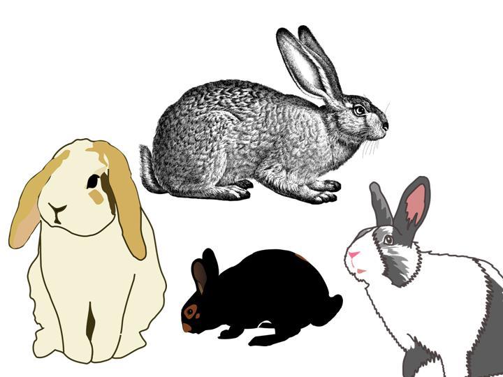 Normal rabbit