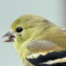 American Goldfinch (1a)