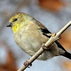 American Goldfinch (2a)